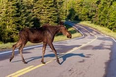 A moose crossing the road in Pittsburg, NH. It's a common sight.
