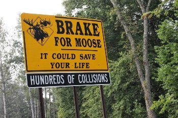 Moose are abundant and a big danger if you hit one with a car up in the North Country.
