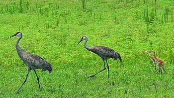 Sandhill cranes with chicks at Paynes Prairie.