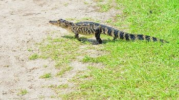 A yearling gator crossing the La Chua trail.