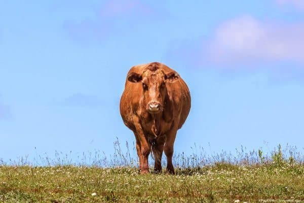 An Annapolis Valley happy cow