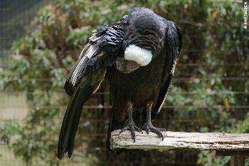 A condor at the park.