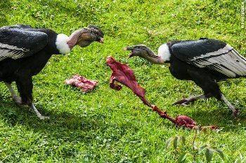 A condor dance at the reserve.