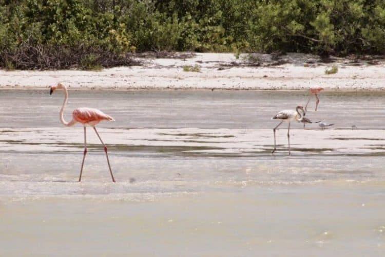 Flamingoes spend part of their year on the small island of Isla Holbox, Mexico during the winter.