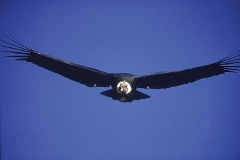 A rare site--a wild condor at Zuleta.