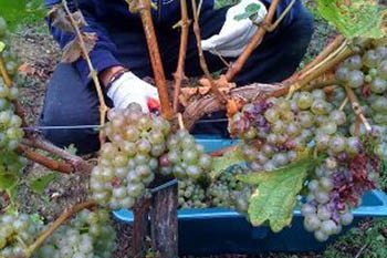 Working a grape picking job in France. Here, snipping the fruit in Bordeaux. Joanna Gonzalez photos.