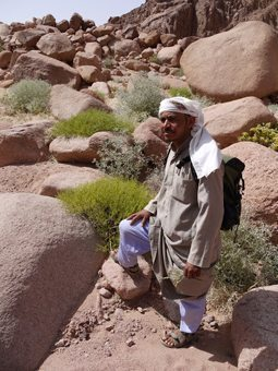 Musa the Bedouin guide, Musa beside Stagah (yellow bush) for healing cuts, and Guurdi (grey/green bush) for curing camels of constipation. photos by Hilary Munro.