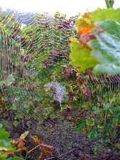 A spider in the vines.