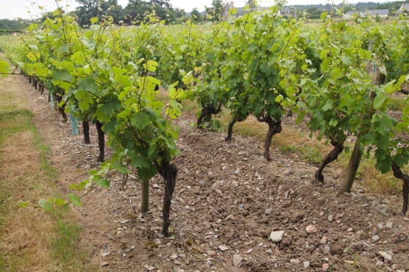 Some of the stoniest soils produce the best wines in France.