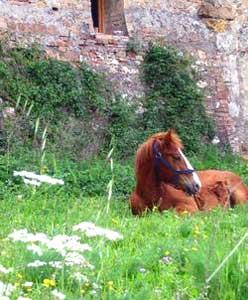 tuscan-horse