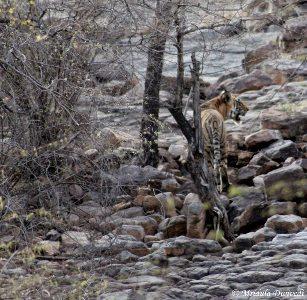 A wild tiger in Ranthambore, Rajasthan.
