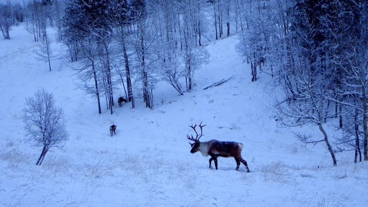 Elk on the move in Yukon Wildlife Preserve.