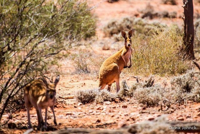 A pair of red kangaroos in the Outback.