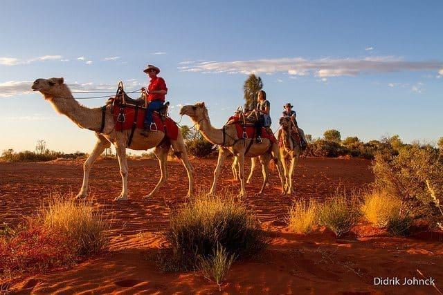 Three camels crossing the Outback. Didrik Johnck photos.