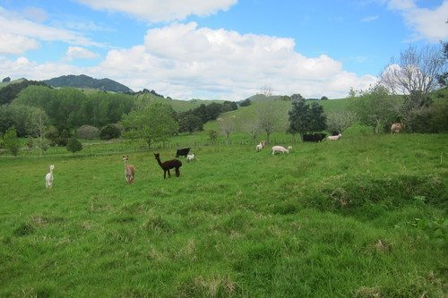 Alpaca in the field in New Zealand.