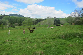 New Zealand: WWOOFing with a Farm Family