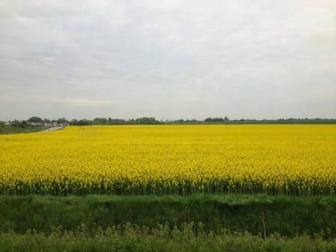 Rapeseed fields from the train to Lund Sweden - Copy