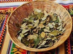 Coca leaves in a basket drying.