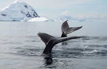 Whale's tales in Antarctica. Dennis O'Connor photo.