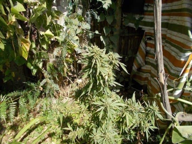 khat plants