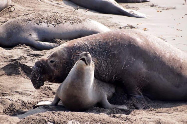Mating season at Piedras Blancas Elephant Seal Rookery in San Simeon.
