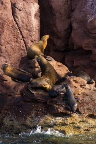 California sea lions Sea of Cortez BCS Lauren Buchholz