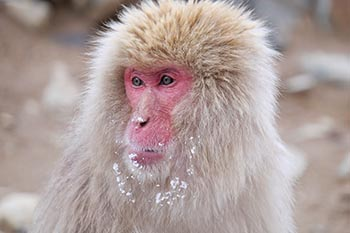 Japan: Meeting the Snow Monkeys