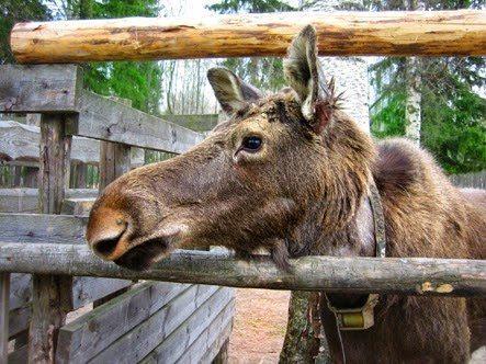 Moose in the pen.