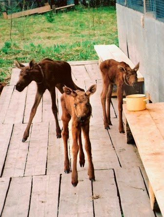 Baby moose, only a few days old at the moose ranch.