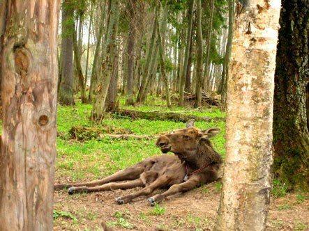 Lying moose at the Moose farm in Kostroma, Russia. Nikita Krivtsov photos.