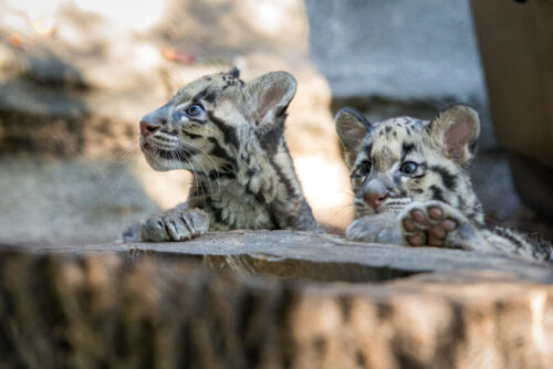 Leopard Cubs at Houston Zoo