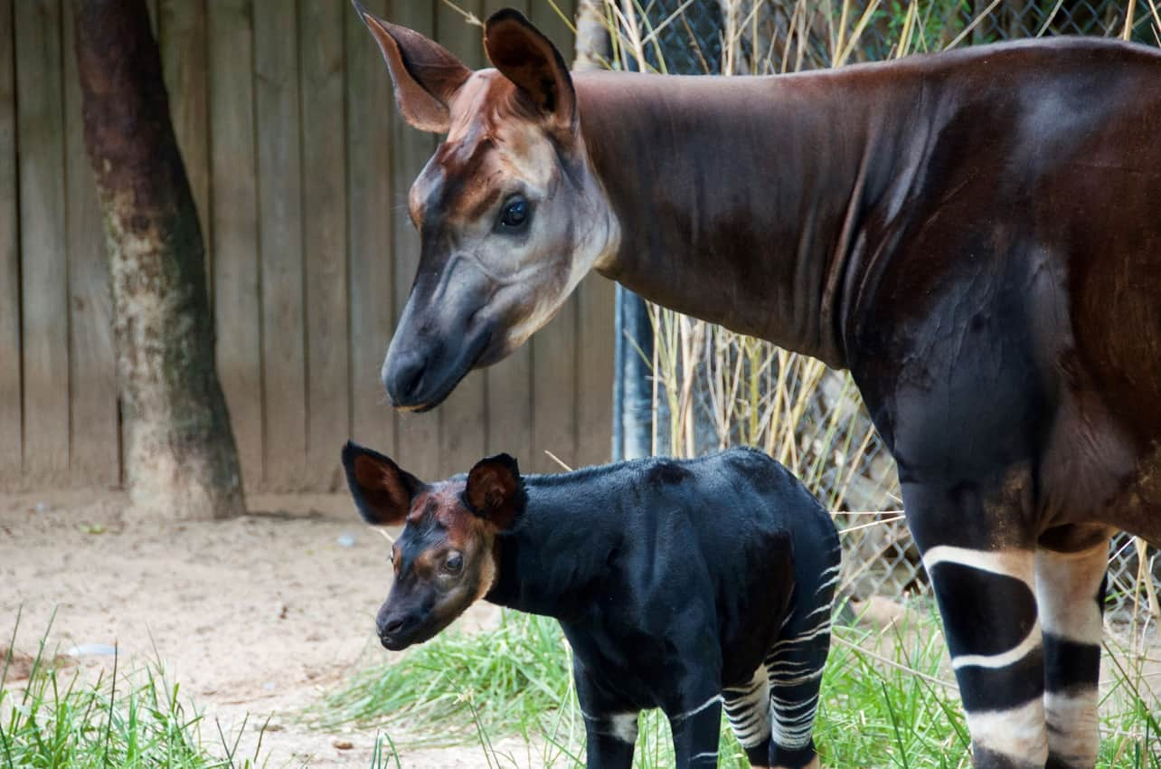 Okapi Calf at the Houston Zoo