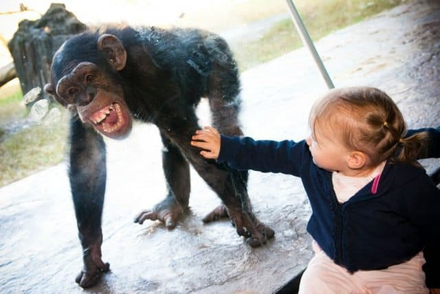 A chimpanzee smiling at a child at the Houston Zoo. Greater Houston Convention and Visitors Bureau Photos.