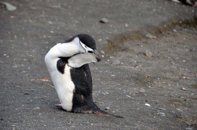 Six different species of penguins breed in Antarctica.