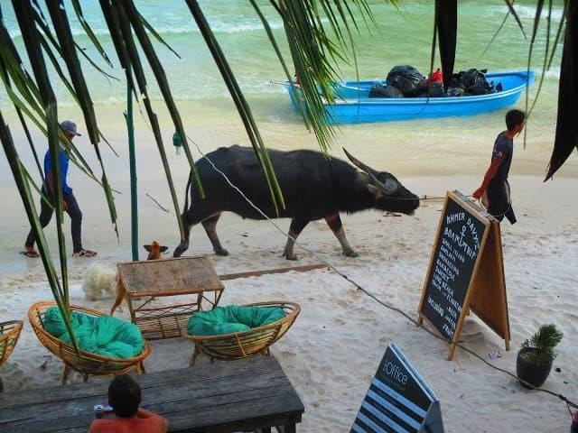 Water buffalo walking on the beach in Koh Tuich village.