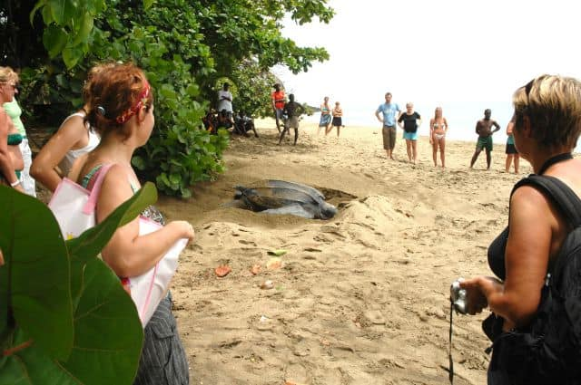 A turtle laying eggs in Tobago.