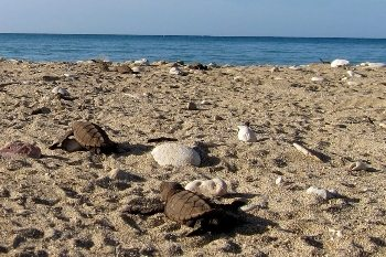 Baby Hawksbill turtles making their way to the sea on a beach in Jamaica.