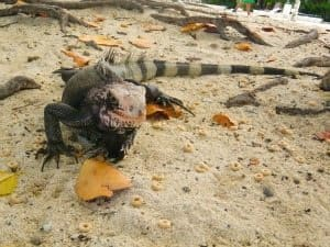 A Hungry Iguana checks out beach patrons and begs for handouts from your lunch.