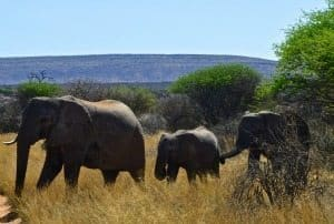 Elephants in Okambara, Africa.