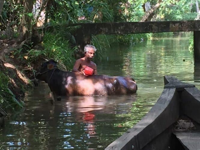 Bathing a buffalo in Monroe Island near Kerala, India. Nripsuta Saxena photos.