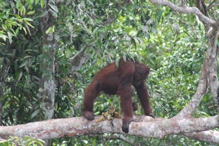 Orangutan in Borneo.