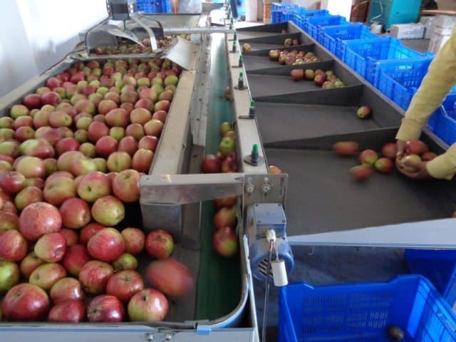 Apples being handled on the grading machine.