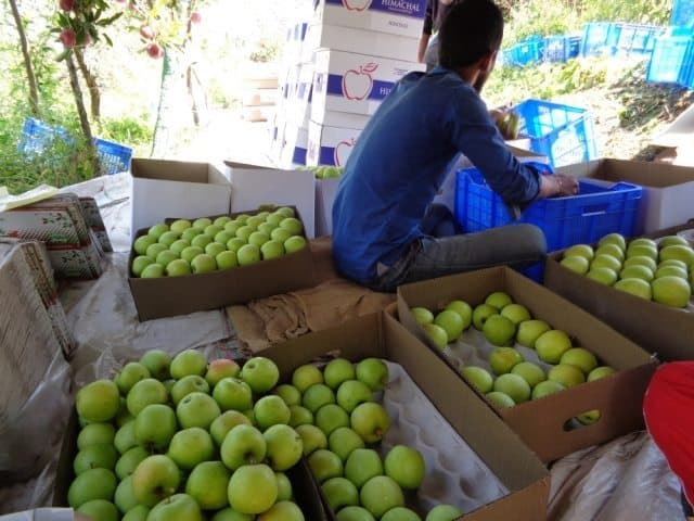 Golden apples being hand graded and sorted.