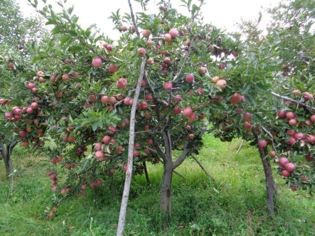 A heavily laden apple tree.