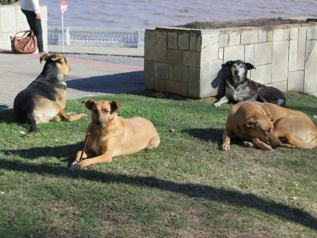 A dog's life in Colonia; four dogs commence for a nice day in the park.