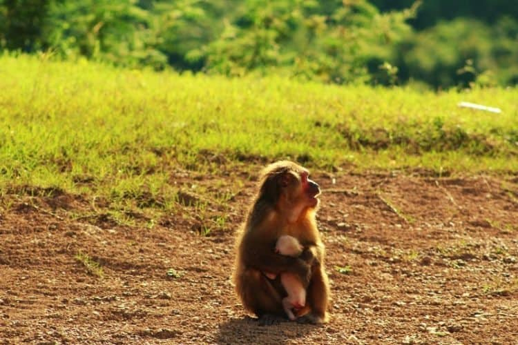 A monkey sits in the evening sun