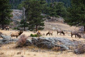 Elk congregate in Moraine Park, Rocky Mountain National Park, Colorado. The bull bugles to attract cows.