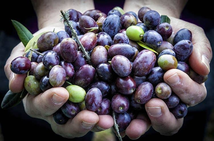 Freshly picked olives in the Monte Rufino Nature Reserve. Photos by Paul Shoul