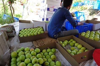 India: Apple Harvest Volunteering