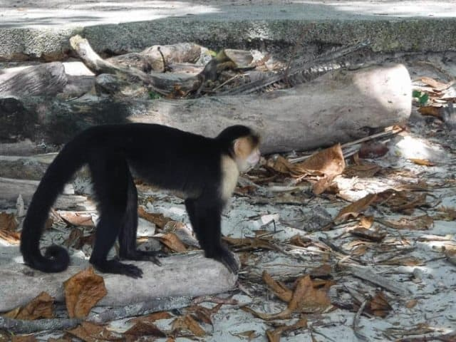 A Capuchin monkey in Manual Antonio National Park.